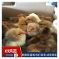 广西K9鸡苗出售 肉鸡苗价格实惠 包打疫苗发货